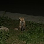Fox in Silverthorne, CO