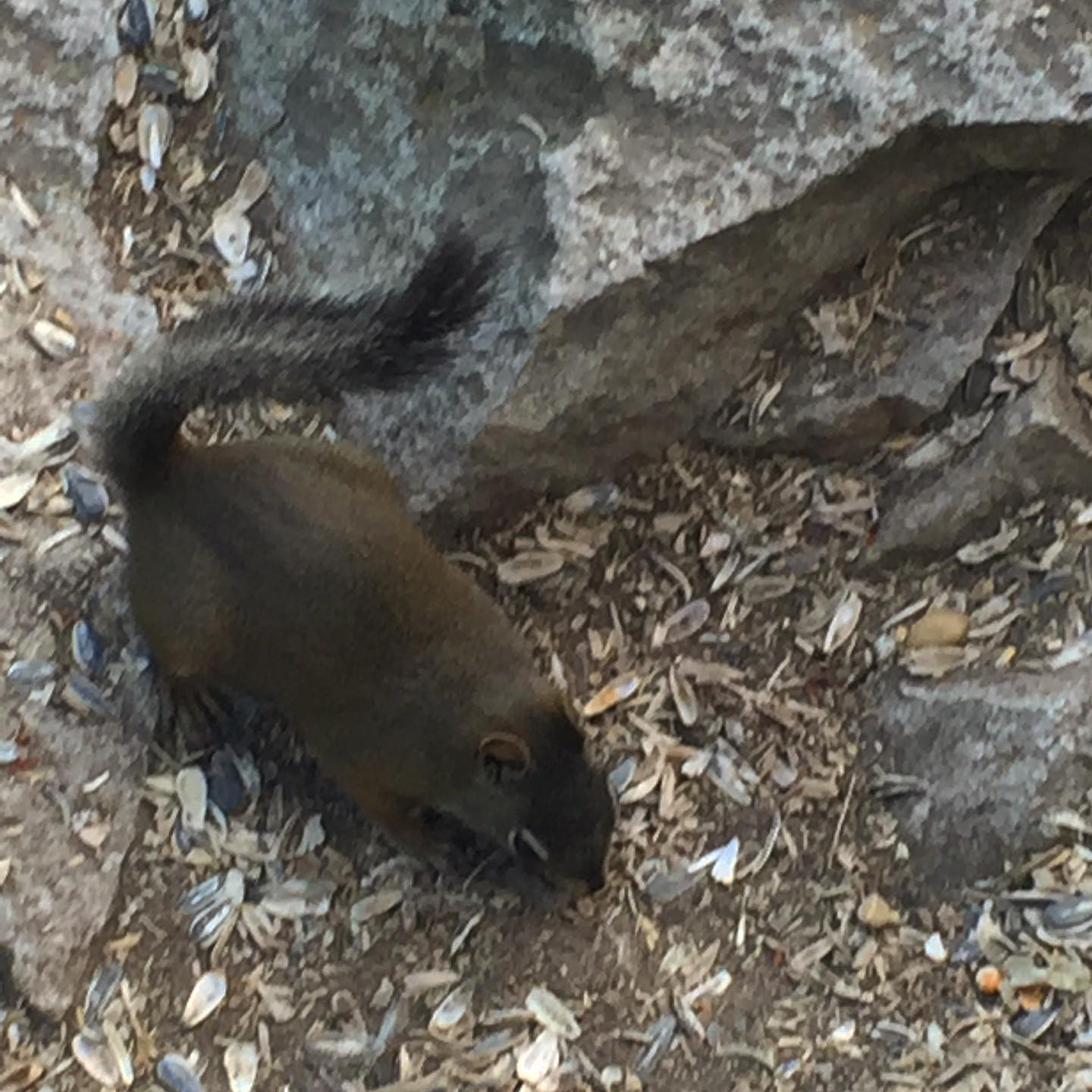 Chipmunks are everywhere at Swan Mountain! Come out and enjoy the beautiful views and scenery. #swanmountain #chipmunks #wildlife