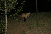 Fox at the Silverthorne Lodge