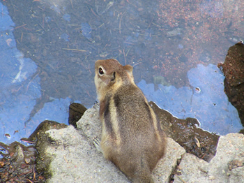 Salt Lick Trail chipmunk